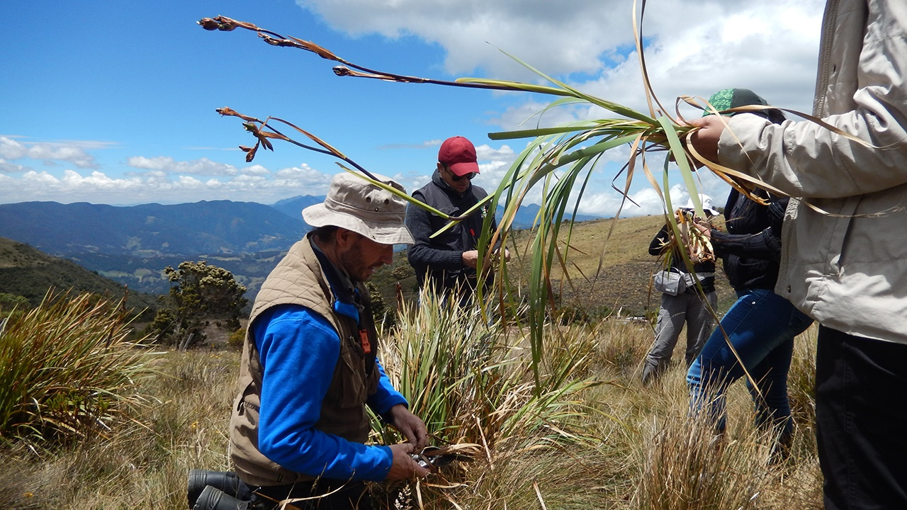 Collecting herbarium specimens in the Páramo